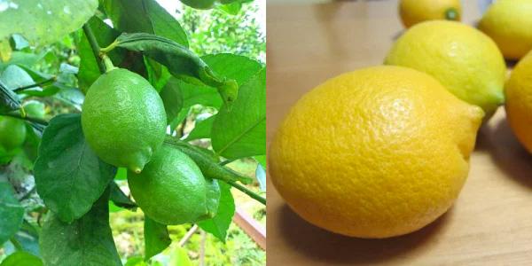 4ふるさと納税レモン減農薬美味しいもの